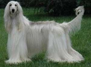 购买高贵的阿富汗猎犬前须知